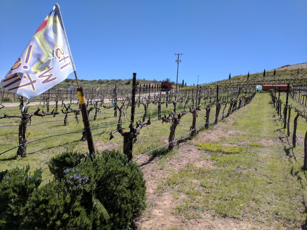 Vineyard grapes in neat rows